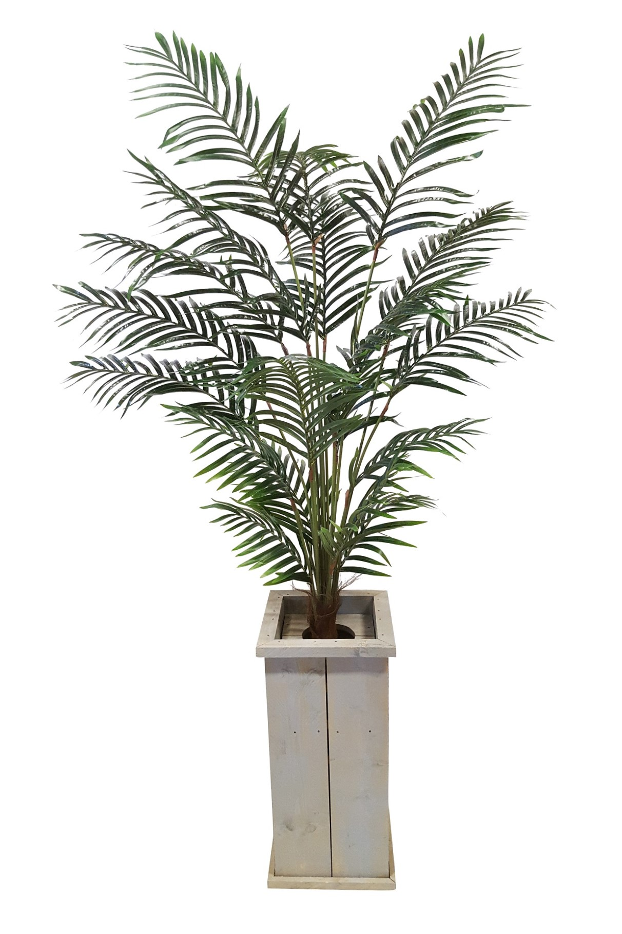 Areca Verhuur Palm in Hoge Pot 240cm