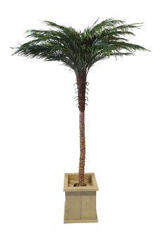 Hoge Verhuurpalmboom in Lage Pot 230cm