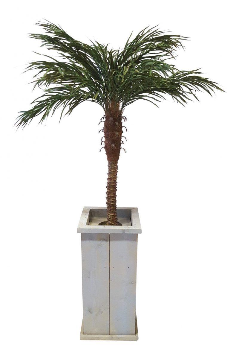 Kleine Verhuurpalm in Hoge Pot 230cm