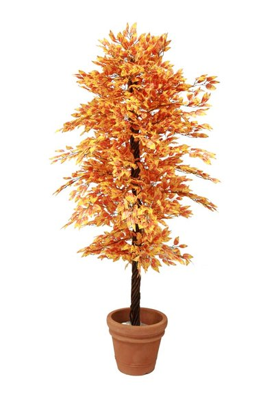 Zomergloed Ficus H200
