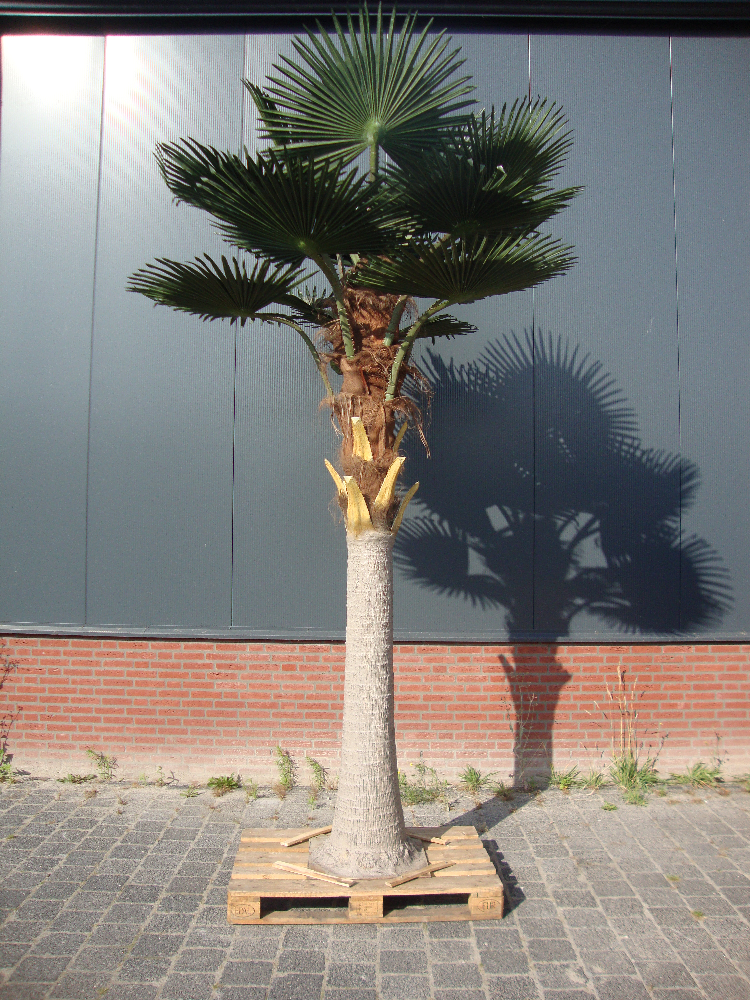 Grote Livistona Buitenpalmboom 380cm