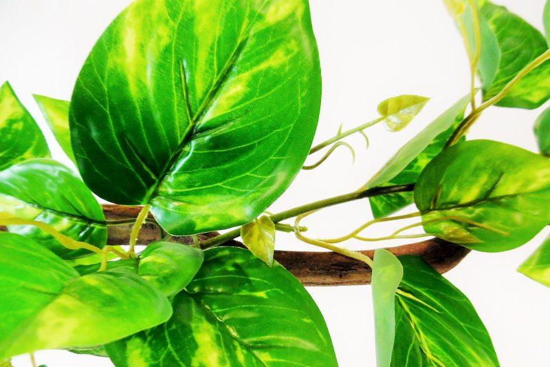 Krulliaan Gevlekte Bladeren 175cm