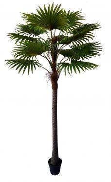 Waaierpalm Barbados 260cm