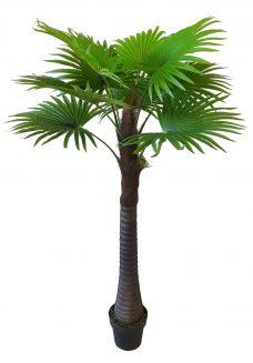 Waaierpalm Belize 165cm