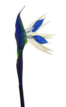 Blauwe Paradijsvogelbloem 80cm