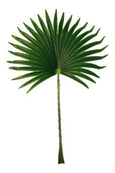 Groot Waaier Palmblad 55cm