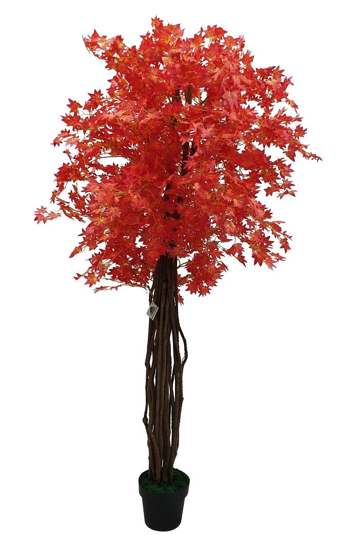 Breedstam Esdoorn Oranje 180cm