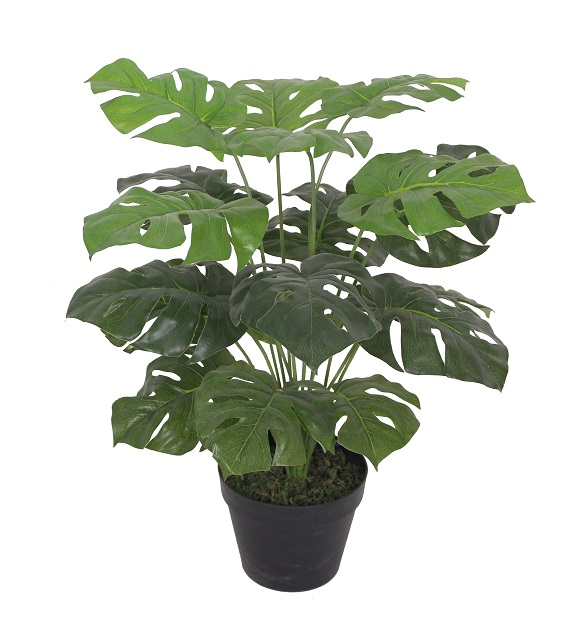 Nep Gatenplant in Pot 60cm